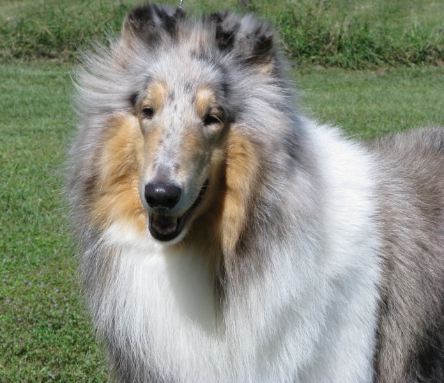 "Collies, Sheranda's             Silver Blues ""Jazzy"" 117i"