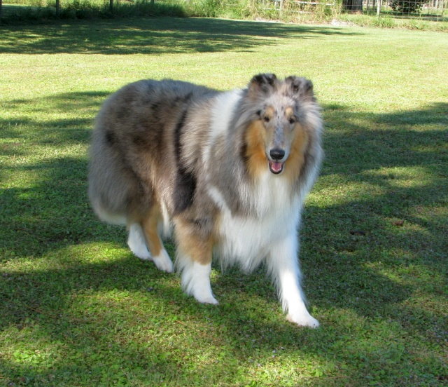 "Collie, Sheranda's Silver Blues ""Jazzy"" 205i"